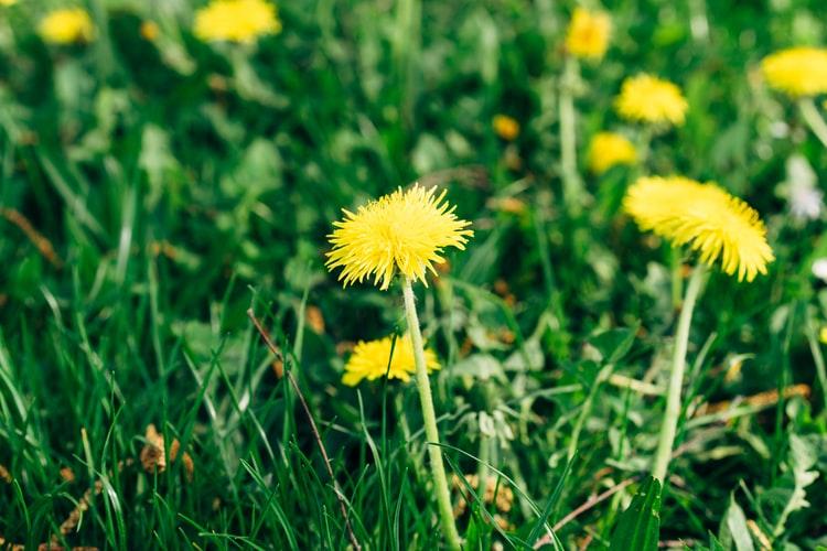 get rid of dandelions before winter